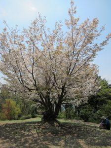 城山山頂広場の桜