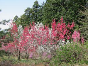 城山山頂広場の花桃